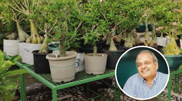 Dr Sanjay Nigam, an accidental gardener has an adenium laboratory and he grows from seed, hand grafts and regularly repots