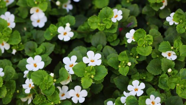Brahmi is more than a herb, it is an ayurvedic aushadhi.(Shutterstock)