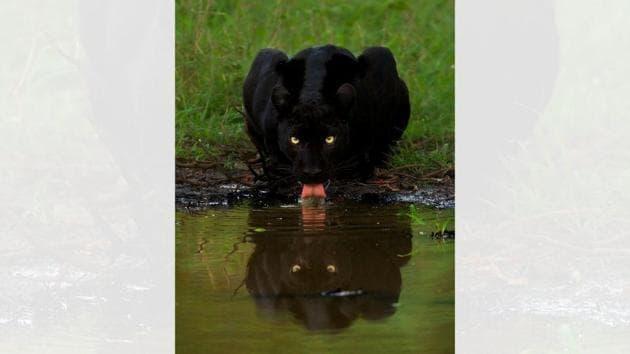 The image shows a black panther drinking water.(Mithun Hunugund)