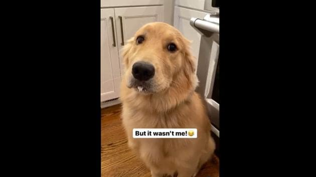 """Sunday looking straight at camera with the text, """"But it wasn't me!"""" appearing on the screen.(Instagram/@sundaythegoldenretriever)"""