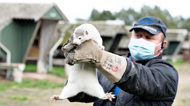 An owner holds up a mink at his farm, amid the coronavirus disease outbreak, in Gjoel, Denmark.(Reuters Photo)