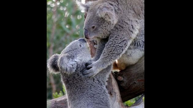Shared on San Diego Zoo's official Instagram profile, the photo shows two koalas.(Instagram/@sandiegozoo)