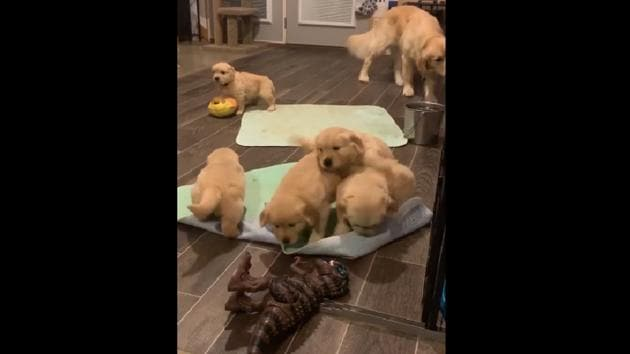 this video of a puppy-vasion is something that will lift your mood instantly.(Instagram/@waterfrontgoldens)