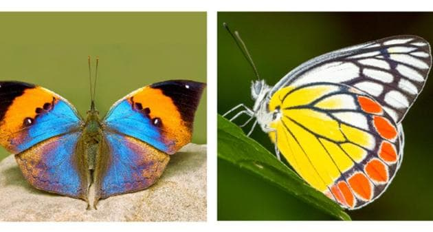 The butterflies that got the most votes and made it into the top three are the orange oakleaf, the Indian jezebel and the Krishna peacock. Now, it's up to the government to pick one.(Ishwar Maaney, Kalesh Sadasivan, Nawang G Bhutia)
