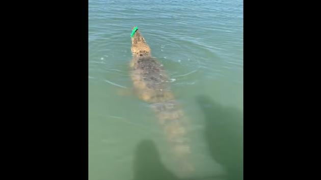 The image shows the crocodile hooked to the lure.(Facebook/@Rod & Rifle TackleWorld Katherine)