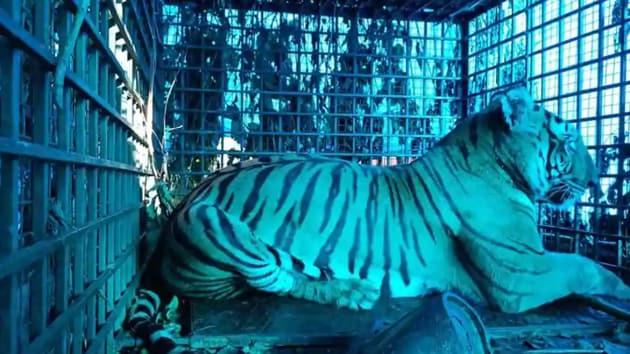 The tigress was captured in Wayanad last week and brought to the Neyyar Safari Park in Thiruvananthapuram.(HT PHOTO)