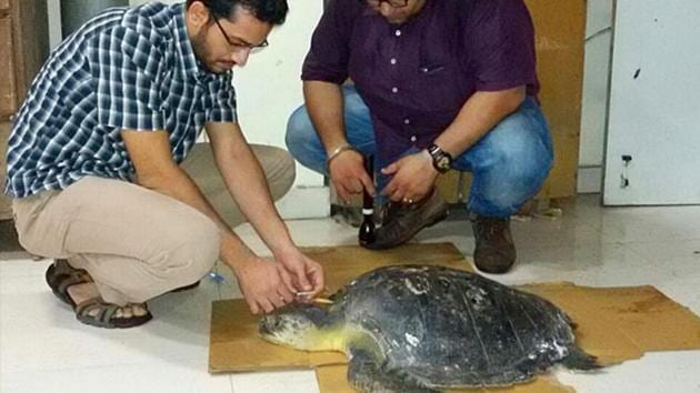 Around 7.30 lakh Olive Ridley turtles had turned up for their annual sojourn for mass nesting in the 2019-20 nesting season