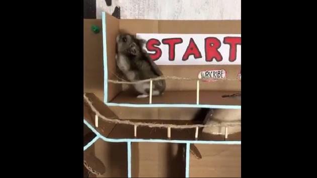The clip shows Masya the hamster.(Instagram/@hamamaze_insta)