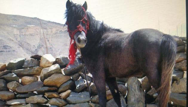 The Chamurthi horse is known to be a hardy animal that is very adaptable to high altitude journeys in snow-bound areas.(Sourced)