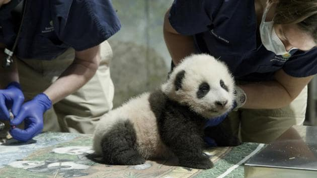 """This handout photo released by the Smithsonian's National Zoo shows a panda cub named Xiao Qi Ji in Washington. More than three months after his birth, the National Zoo's new panda cub finally has a name. Officials at the Smithsonian, which runs the zoo, announced Monday, Nov. 23, 2020, that the cub born on August 21 would be named Xiao Qi Ji, which is Mandarin Chinese for """"little miracle.""""(AP)"""