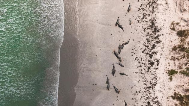 Whales are seen stranded on the beach in Chatham Islands, New Zealand November 24, 2020.(SAMINTHEWILD_ via REUTERS)