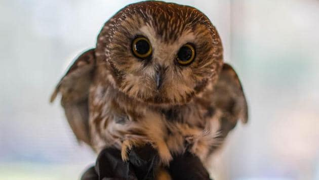 The image shows the rescued owl named Rockefeller.(Facebook/@RavensbeardWildlifeCenter)
