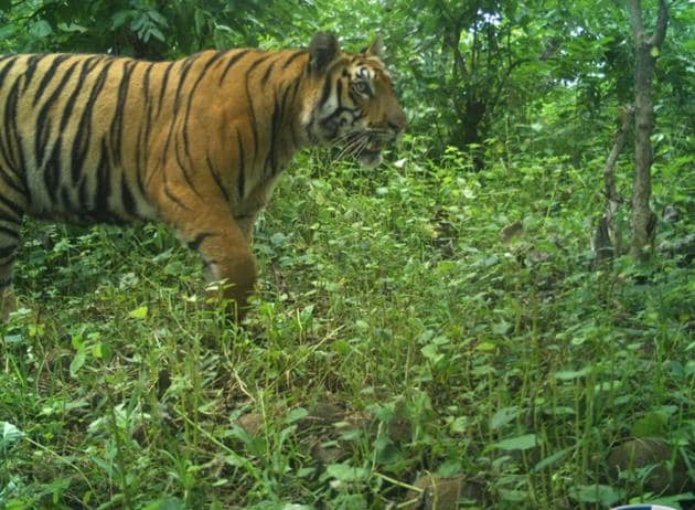 The tigress T2C1 is almost two-and-a-half years old and was captured in September.(Maharashtra Forest Department)