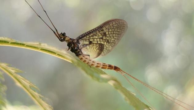 This image shows a 'Danish Mayfly'.(AP)