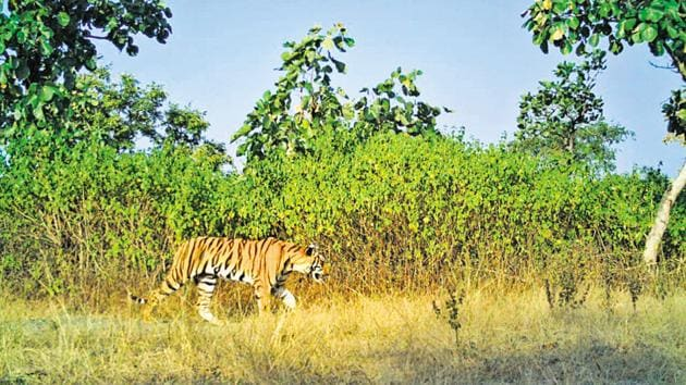 T1C2, female cub of Avni, now a sub-adult tigress, aged two-and-a-half years, has been kept in captivity in a 4.5-hectare (ha) area in Pench Tiger Reserve since December 22, 2018.(Maharashtra Forest Department.)