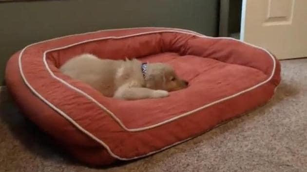 The image shows a brown-furred pooch.(Reddit/@PaSqrt)
