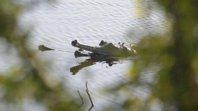 The Chambal river in Madhya Pradesh used to be a major habitat of the gharial.(HT FILE PHOTO)