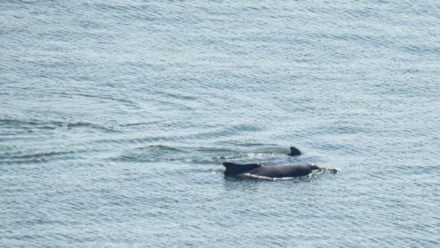 Two Indian Ocean humpback dolphins spotted off Malabar Hill.(Photo: Darshan Khatau)
