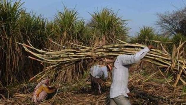 A farmer carries sugarcane to load on a tractor to sell it at a nearby sugar mill in Ghaziabad.(HT Archive)
