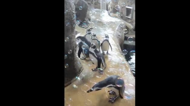 The image shows penguins.(Instagram/@oregonzoo)