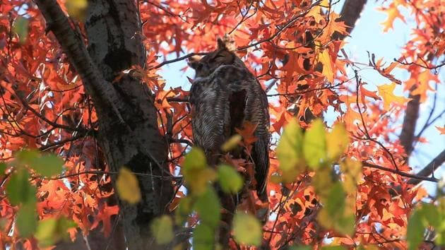 A Great Horned Owl spotted at the Rambles in Central Park during a tour by Robert DeCandido, also known as Birding Bob, in New York on November 29. Bird-watching has grown in popularity in New York City, with theatres and clubs indefinitely closed due to coronavirus disease (Covid-19), which has killed more than 24,200 people in the city since spring, AFP reported. (Kena Betancur / AFP)