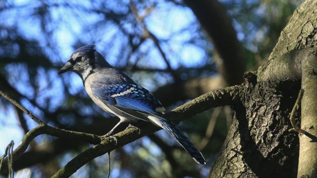 A Blue jay seen perched on a branch at the Rambles in Central Park during DeCandido's birdwatching tour in New York on November 29. (Kena Betancur / AFP)