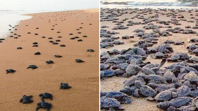 Pairs of olive ridley sea turtles have begun emerging on the swirling sea waters off Gahirmatha in Odisha, marking the commencement of the annual natural heritage of mass nesting.(Image via Twitter)