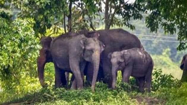 A herd of elephants attacked slums of mining workers, killing one and injuring two others in Nainital district of Uttarakhand.(PTI Photo/Representative use)