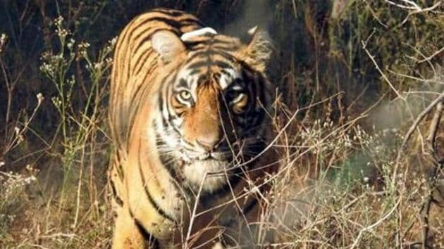 Two tigers are suspected to have killed two persons within 20 km of each other.(Representational image/HT PHOTO)