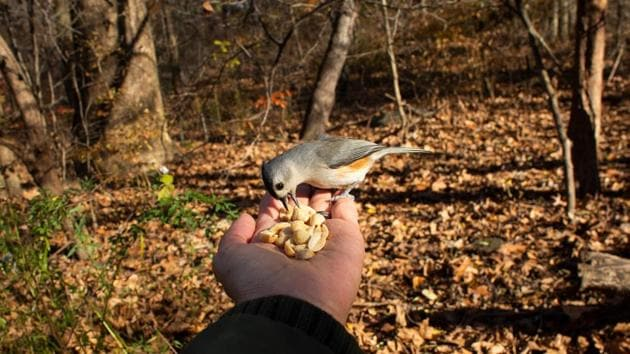 Photographer Kena Betancur feeds a Tufted Titmouse during DeCandido's tour at the Rambles in Central Park, New York on November 29. Tarini Goyal, who moved to New York a few months ago, told AFP that her new hobby helps her handle the stress of the pandemic and has also helped her socialise as the city experiences a resurgence of the virus. (Kena Betancur / AFP)