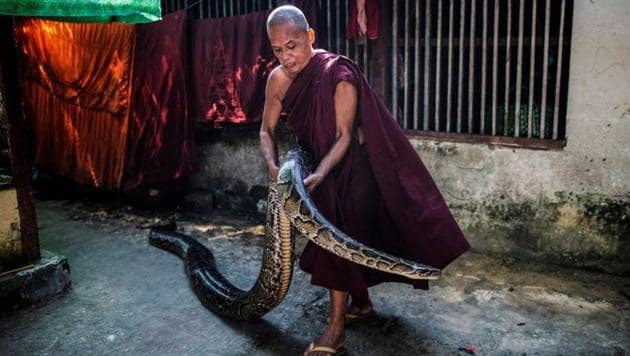 A Buddhist monk holds a Burmese python at a monastery that has turned into a snake sanctuary on the outskirts of Yangon, Myanmar.(REUTERS)