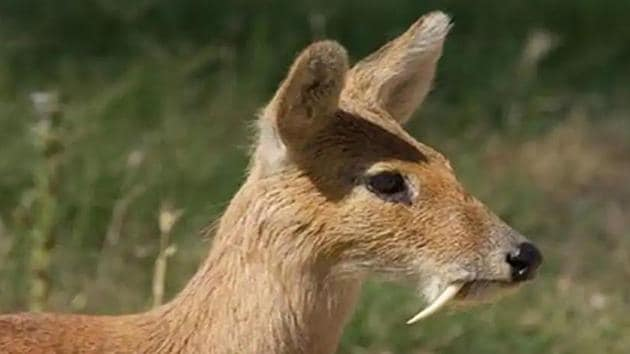 Four teeth of musk deer, one head, skin and two legs of a mountain goat were recovered from the poachers, say officials. (HT Photo)