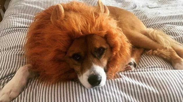 The image shows Chris Evans' dog named Dodger.(Instagram/@chrisevans)