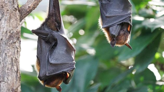 Bats are thought to be the original or intermediary hosts for multiple viruses that have spawned recent epidemics, including SARS, MERS, Ebola, Nipah virus, Hendra virus and Marburg virus.(Pixabay)
