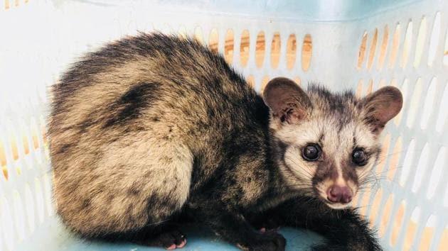 The civet cat has vanished from Sanjay Gandhi Park.(File photo)