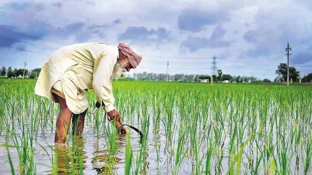 A farmer working in his paddy field at Bothgarh outskirts of Morinda town in Ludhiana.(HT File Photo)