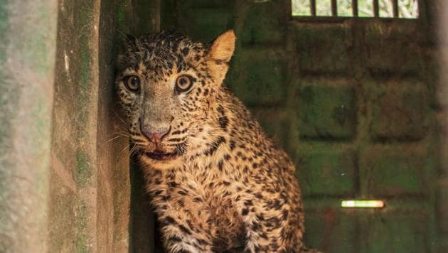 The highest number of wild cat deaths was recorded in Nashik with 70 leopard deaths, followed by 27 in Pune and 26 in Kolhapur districts respectively.(HT PHOTO)