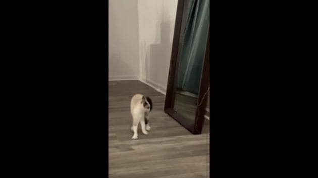 The image shows a white-and-brown furred feline walking in front of a mirror.(Reddit/@TreKs)