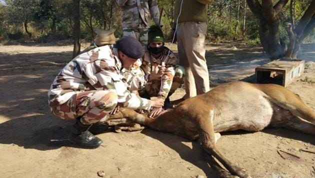 The image shows ITBP officials tending to one of the deer.(ANI)