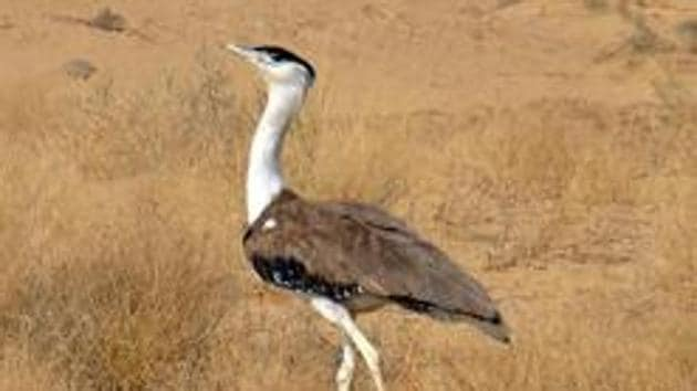 The great Indian bustard.(Representational photo)