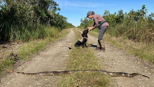 Dog handler Paula Ziadi, instructs Truman, after he tracked down an 8-foot-python, in Miami-Dade County, Fla. The Florida Fish and Wildlife Conservation is beginning a new program to use dogs to sniff out invasive pythons.(AP)