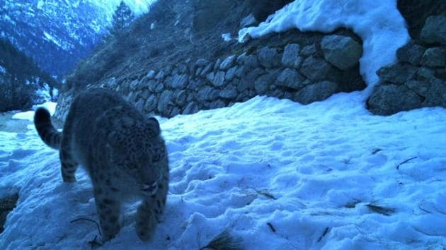 Snow leopard camera trapped in Gangotri National Park during estimation process.(HT photo)