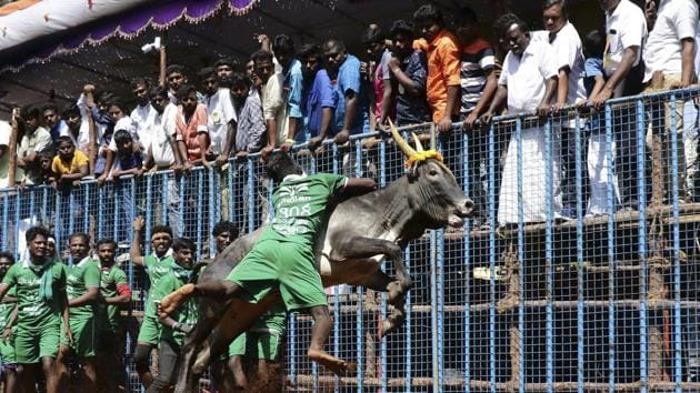 An Indian participant tries to control a bull at the annual bull taming event 'Jallikattu' in Avaniyapuram village on the outskirts of Madurai, Tamil Nadu.(AP)