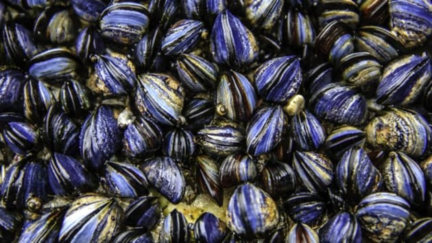 A research has revealed that mussels, oysters and scallops possess the highest levels of contamination due to microplastic among all seafood.(Yahoo)