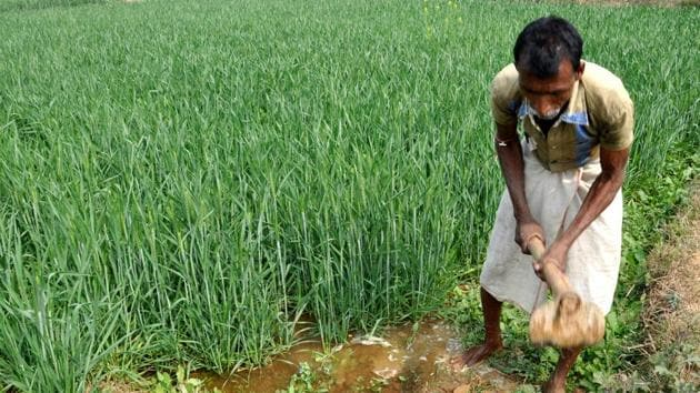 Sowing of rabi (winter) crops is underway. The rabi sowing begins from October immediately after the harvest of kharif (summer) crops. Wheat and mustard are major rabi crops. The crop year runs from July to June.(Bijay/Hindustan Times representative image)