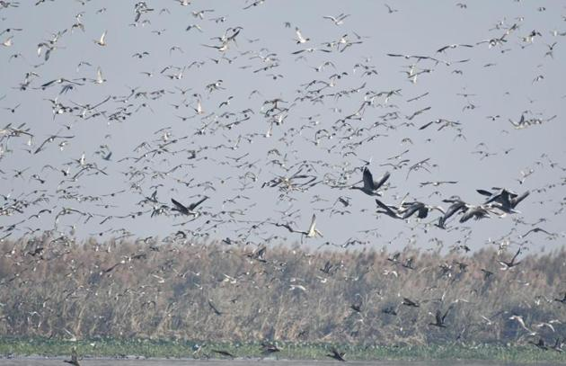 A flock of migratory birds take flight at Harike Pattan wetlands on the border of Ferozepur and Tarn Taran districts of Punjab.(Photo courtesy Ferozepur divisional forest officer, wildlife, Nalin Yadav)