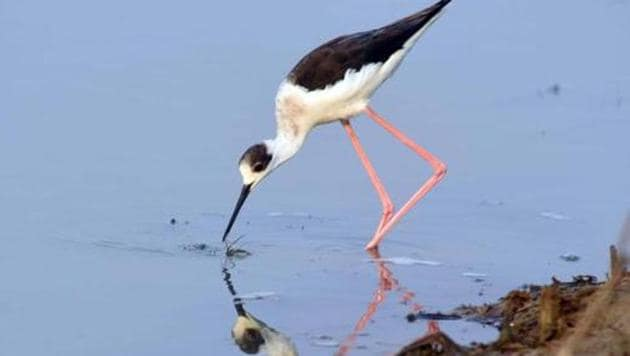 Covering an approx area of 1,100 sq km, the lagoon is the largest wintering ground for migratory birds in India. It welcomes numerous species of endangered birds every winter season.(HT PHOTO.)