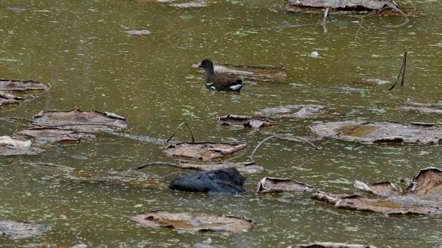 Identified as a common coot, its carcass was found at the regulatory end of the lake.(Ravi Kumar/HT)