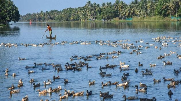 Farmers guide ducks towards a cage for culling, following detection of Avian Influenza (H5N8) at four places, in Alappuzha district of Kerala on Tuesday.(PTI Photo)