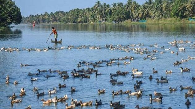 Farmers guide ducks towards a cage for their culling, following detection of bird flu at four places, in Alappuzha district of Kerala on January 5.(PTI)